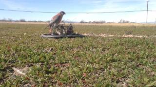 getlinkyoutube.com-Kestrel Trapping Falconry Bal-Chatri Trap