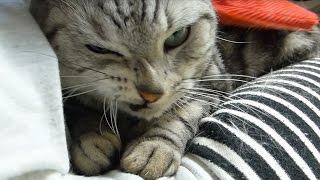 getlinkyoutube.com-初めてマッサージされる猫が極悪顏 でシャーーー!と飼い主を威嚇  ~ツヤツヤな美猫を目指して! -The first experience to Massage