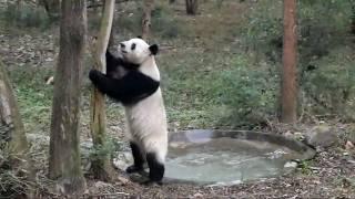 getlinkyoutube.com-Roly Poly Panda in Chengdu