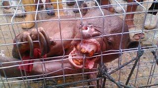 getlinkyoutube.com-Criatura Estranha Encontrada na Indonésia - Assista se For Corajoso!!!