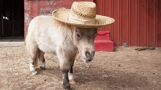 Miniature Horse Is Becoming An Internet Star