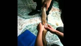 getlinkyoutube.com-Man Eating Snakes - How to eat live snake heart