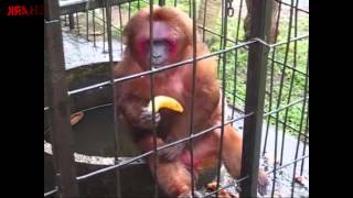 getlinkyoutube.com-Ghetto Monkey Eating Bananas (Funny Voiceover without intro)
