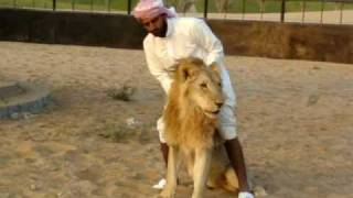 Arab and Lion - who wins ?