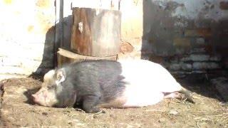 Дегельминтезация свиней,проглистовка.