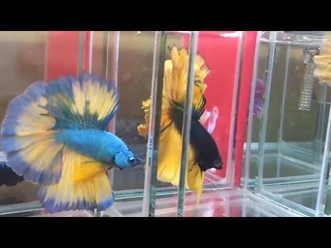 Ikan Cupang Halfmoon - Halfmoon Betta Splendens