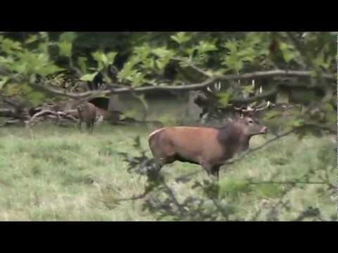 Red deer mating season (Hertenbronst)