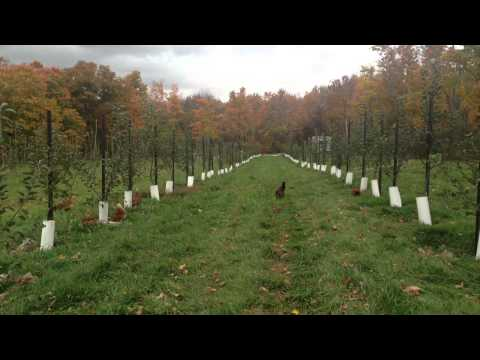 Organic pest control in your orchard with chickens