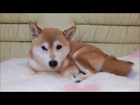   Shiba Inu and folded carpet