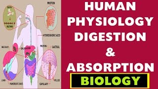 HUMAN PHYSIOLOGY DIGESTION AND ABSORPTION Imp Bio Lecture ch-12(SSC , UPSC , CDS , PSC & other Govt)