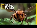 The Worlds Biggest Wasp | Bite, Sting, Kill