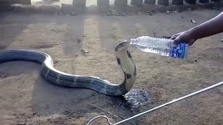 Huge DEADLY Cobra Casually Drinks From Water Bottle | What's Trending Now!