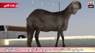 getlinkyoutube.com-أغنام سواكن نادرة للمنتج /أبوحمد العتيق