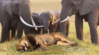 getlinkyoutube.com-Lion vs bull Elephant Crocodile vs Elephant Lion vs Hyena Male lion attacks Animal Victim Fight back