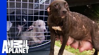Mama Dog Is Reunited With Her Puppies | Pit Bulls & Parolees width=