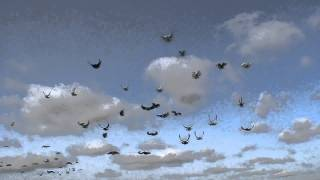 getlinkyoutube.com-Заваражающий полёт серпастых голубей, от 02 11 2011г