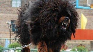 getlinkyoutube.com-افضل 10 كلاب حراسة في العالم