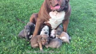 getlinkyoutube.com-The Ultimate nanny Giant family pit bull THE HULK