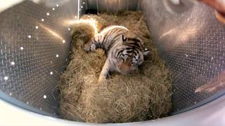 getlinkyoutube.com-Incredibly Rare Siberian Tiger Release - GoPro Video of the Day