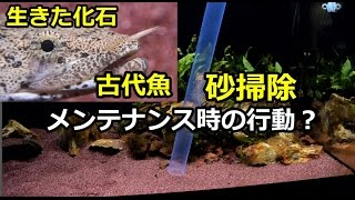 getlinkyoutube.com-生きた化石!古代魚の砂メンテ 魚は観察でストレス?