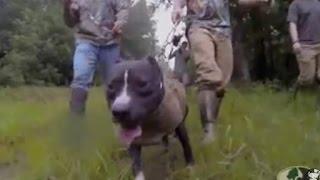 getlinkyoutube.com-Caça ao javali com Pit Bull - Compilation dog hunting hogs