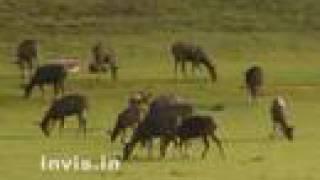 getlinkyoutube.com-Deers in Kerala, India, video Suresh Elamon