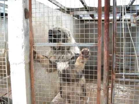GALDON - Caucasian Shepherd Dog kennel.