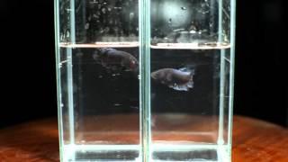getlinkyoutube.com-ฉายาไอ้ฉลามดำ เซฟปลากัดเก่ง