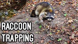 getlinkyoutube.com-Trapping Raccoons with Dog proof Traps 2016