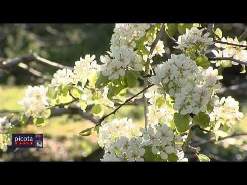 Comienzan a florecer los cerezos en el Valle del Jerte 2011