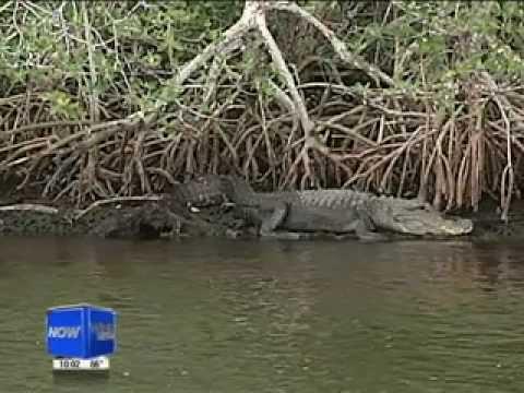 Alligator attacks airboat captain in Everglades City