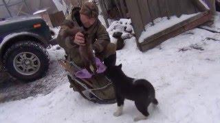 getlinkyoutube.com-Обучение щенка лайки