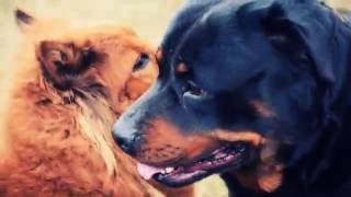 getlinkyoutube.com-Rottweiler vs chow chow mix part 2