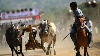 Bull Races : बैलाची फ़ायनल शर्यत