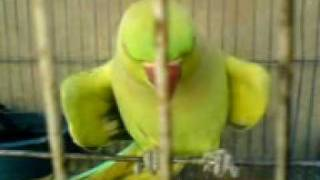 getlinkyoutube.com-Speaking Bird