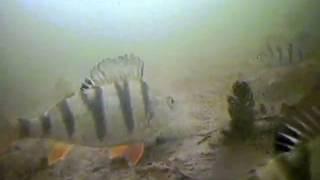 getlinkyoutube.com-Вид из подо льда как клюет щука окунь и рак