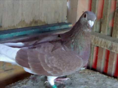 pigeon race  حمام زاجل (محمود مصطفى ) 2