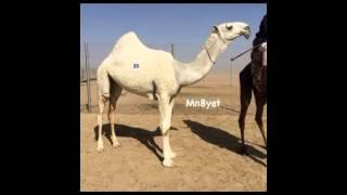 getlinkyoutube.com-شيله مهداه للشيخ / طلق بن ظافي ال روق القحطاني