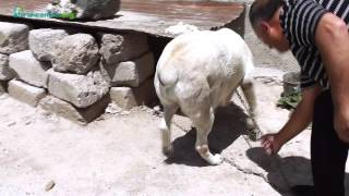 getlinkyoutube.com-Հայկական գելխեղդ գամփռները` «դրախտավայրում»