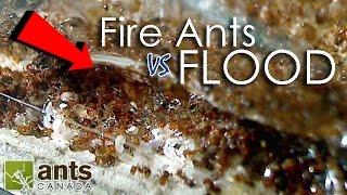 getlinkyoutube.com-FIRE ANTS vs FLOOD! | What Happens to Ants When It Rains?