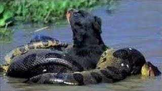 getlinkyoutube.com-Jaguar vs Anaconda - A Deadly Fight! Animal Documentary 2015