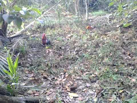 Pikat ayam hutan si kocut ke#5