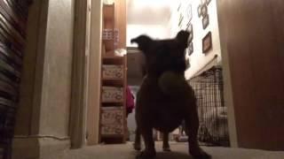 getlinkyoutube.com-Vlog: Small Dog Versus Obedience