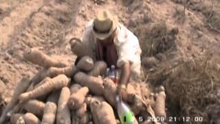 getlinkyoutube.com-วิธีการปลูกมันสำปะหลัง 30 ตันต่อไร่ กศน.อำเภอเมืองอุดรธานี