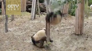 getlinkyoutube.com-A dramatic life: Panda falls from tree unhurt, robbed by other pandas afterwards