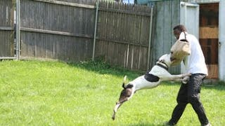 getlinkyoutube.com-Dogs Training Pitbull to attacking