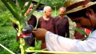 getlinkyoutube.com-การตอนมะละกอ..โดย นายตุลาไร่สานฝัน