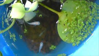 めだかの水槽の水交換・清掃を楽にする 赤玉土を使う方法  Japanese rice fish