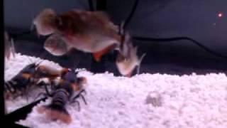 getlinkyoutube.com-Piranhas With Lobster
