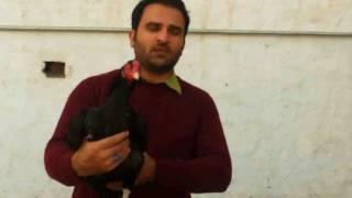 getlinkyoutube.com-Big Rooster Aseel by Nadeem khanewal